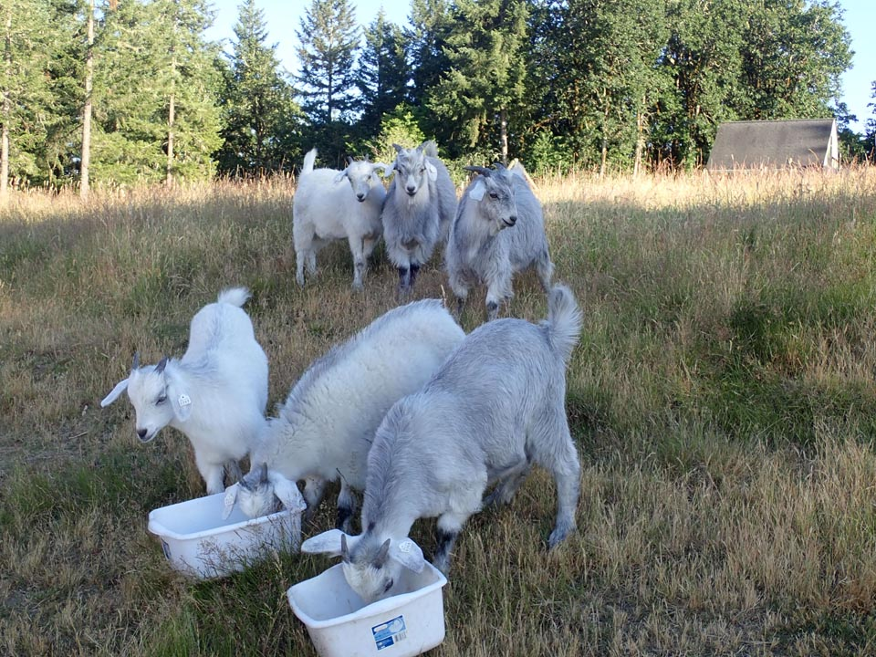 weaned cashmere kids